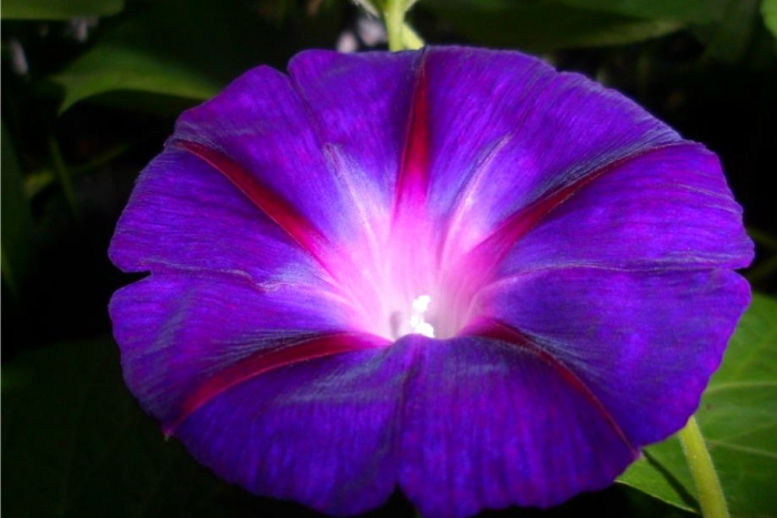 morning glory seeds mix