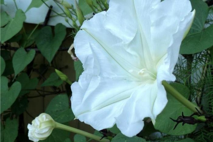 moon flower vine