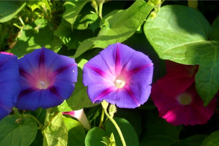 mixture of morning glories