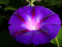 morning glory seeds mix