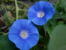 heaven blue morning glories