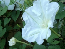 moon flower vine