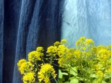 Woad seeds natural dye seeds isatis tinctoria seeds